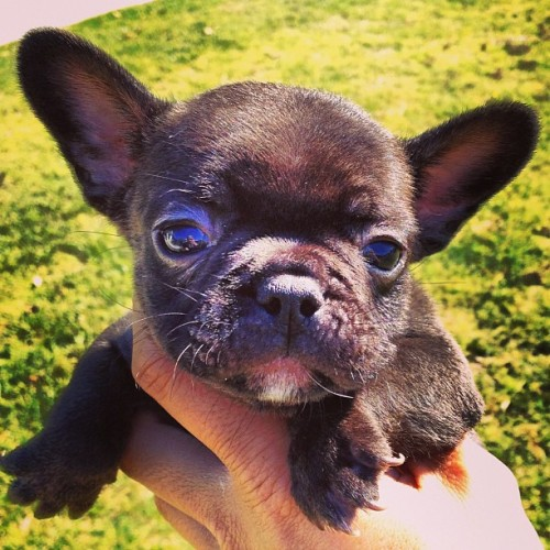 batpigandme:  🏆🏆🏆 #bonsaikennels #frenchbulldog #frenchbulldogs #frenchie #Frenchies #rarefrenchbulldogs #rarefrenchies #bulldog #bulldogs #bluefrenchie #bluefrenchbulldog #frenchbulldogforsale #puppies #frenchbulldogpuppies #frenchiepuppies #zen #englishbulldog #englishbulldogs #whoisbruno #puppiesforsale #cute #rare #exoticfrenchies #orangecounty #bullylife #dakkydak #frenchbulldogstud #frenchiestud #puppiesforsale #frenchieforsale by dakkydak http://bit.ly/180nf0Y