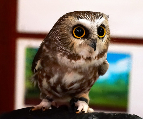 Live Owl Show at Richmond Nature Park by TOTORORO.RORO on Flickr.
