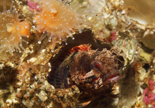 Feeling tentative today? Maybe it's time to come out of hiding like this mosshead warbonnet. Happy #Friday and have a great weekend! View our animal guide.