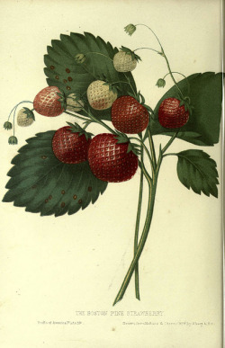 heaveninawildflower:  n69_w1150 by BioDivLibrary on Flickr. Strawberry. The fruits of America New York,D. Appleton & co.,1853. biodiversitylibrary.org/page/17288209
