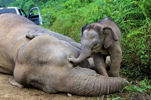 Poison suspected in deaths of 10 endangered pygmy elephants in Borneo (Photo: Sabah Wildlife Department via AFP - Getty Images) Ten endangered pygmy elephants have been found dead in suspicious circumstances in Malaysia, according to reports. Read the complete story.