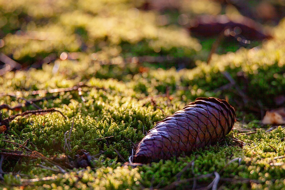 Pine Cone on a Bed of Moss. #Forest#Pine Cones#Pine Trees#Moss#September#Indian Summer#Nature
