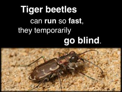 """This discovery was made by Cornell University Professor, Cole Gilbert. The original research findings was published in the Journal of Comparative Physiology (Fall 1997) , titled: """"Visual control of cursorial prey pursuit by tiger beetles (Cicindelidae)."""" source"""