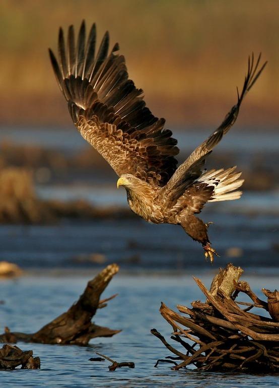 Beautiful White-Tailed Eagle Love Moments