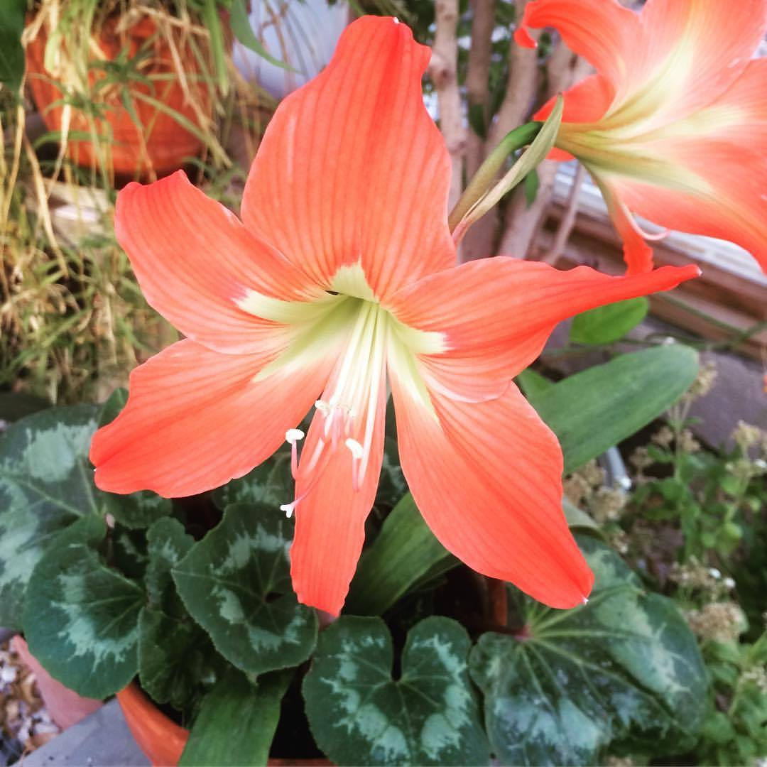 happyapplesfarm - Amaryllis from seed. These orange amaryllis blooms are a welcome bit of eye candy in the greenhouse. The blooms may be a bit...