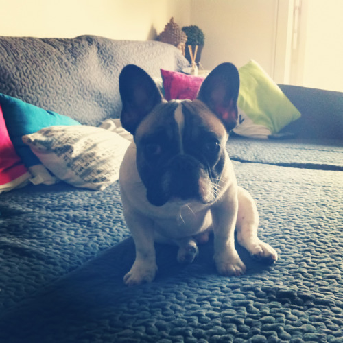 """Andy The French Bulldog"""