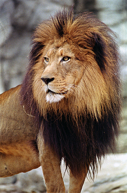 theanimaleffect:  Male lion by kenj8246 on Flickr.