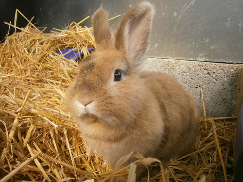 Real-life Easter bunnies are in need of a home. This rabbit, named Beyonce, is a three-year-old lionhead rabbit who takes after her namesake with her style of bunny hops. However, bunny Beyonce is currently lonely and would like to meet her very own Jay Z. Photograph: PR