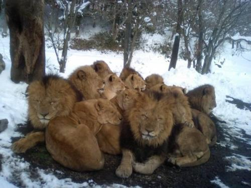 WHY ARE THERE SO MANY DUDE LIONS