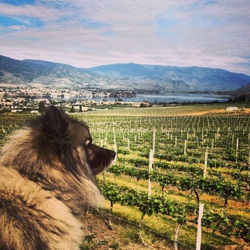 Surveying the vineyard. #HDR #Osoyoos