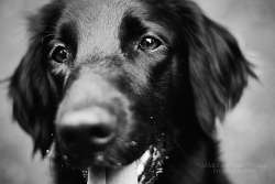 animals-animals-animals:  Flat-coat Retriever (by sailsire)