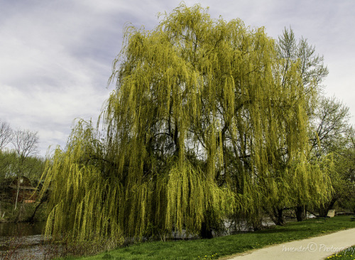 Willow Tree on Flickr.I love Willow trees