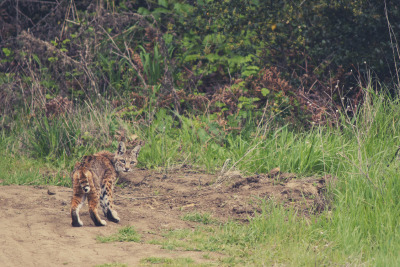 I have seen bobcats before, but only for a split second or from a far distance away. Luckily when I was walking in Russian Ridge a couple days ago, I saw this little bobcat on a morning hike. She looked pretty skinny, and was out hunting. I followed her for a few minutes on a trail above without her noticing me. When our trails connected she sat down to clean her back and spotted me. She froze and didn't seem like she knew what to do, but got up after a couple minutes and continued walking her trail. I followed her at a distance for a few more minutes before she made her way off the trail and into the woods. Luckily I was able to get some good shots of her before she was gone from sight.