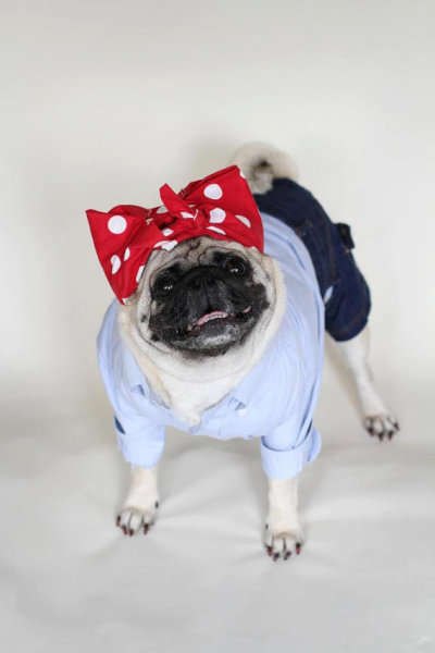 dapperpugs:  YES WE CAN via