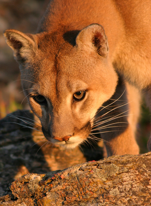 wild-earth:  Mountain Lion