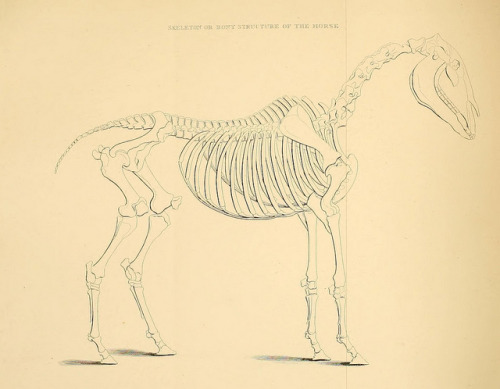 Skeleton or bony structure of the horse by BioDivLibrary on Flickr. Rural life described and illustrated, in the management of horses, dogs, cattle, sheep, pigs, poultry, etc. etc. :.London ;London Printing and Pub. Co.[between 1868 and 1888].biodiversitylibrary.org/page/20715451