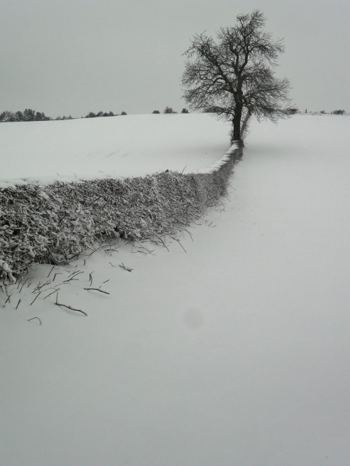 lensblr-network:  Snow covered hedge, Druids Heath, Aldridge, Walsall, England by vwcampervan-aldridge.tumblr.com