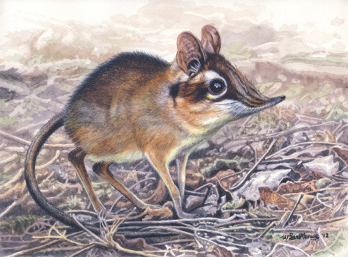 scientificillustration:  Four-toed Sengi by ~WillemSvdMerwe