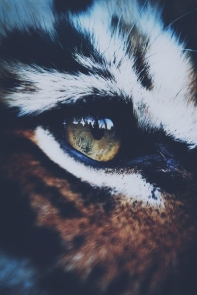 faithwithlovesobeautiful:  Tiger | via Tumblr on @weheartit.com - http://whrt.it/18gQ8F6