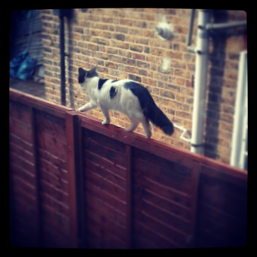 I found a #cool #cat #strolling on my #garden #fence
