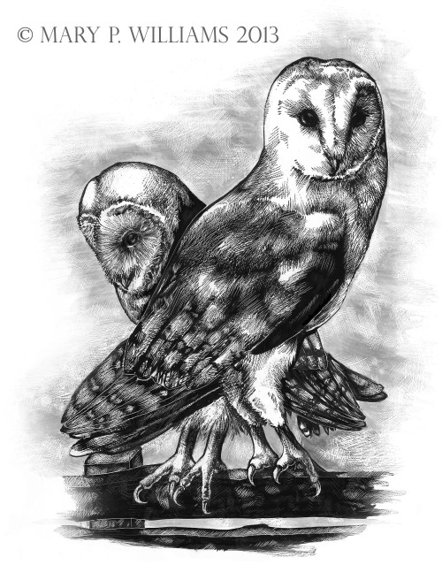 "marywilliams:  Barn Owls.Tyto alba. Pen and Ink on Clayboard. 8.5""x11"" Love these guys. Barn owls are the best. <3"