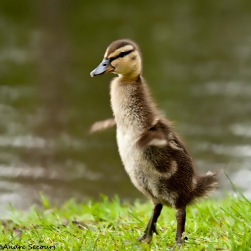 I'm this big!  Baby duck by   Andre@home  (via All sizes | Ducky | Flickr - Photo Sharing!)