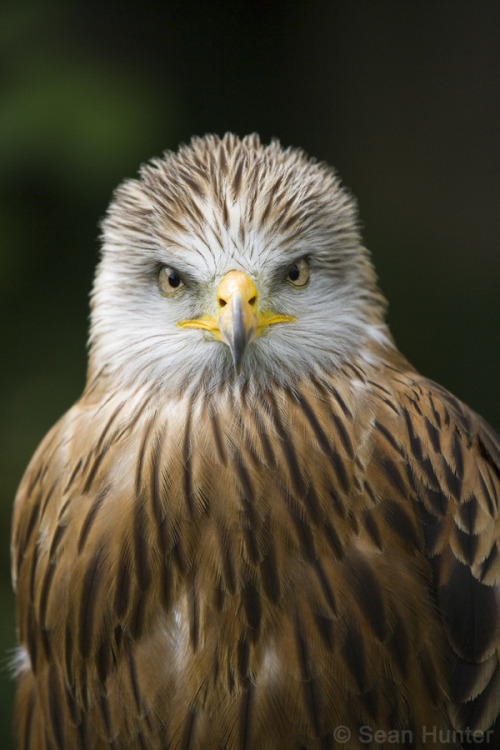 animals-animals-animals:  Red Kite (by Sean Hunter)