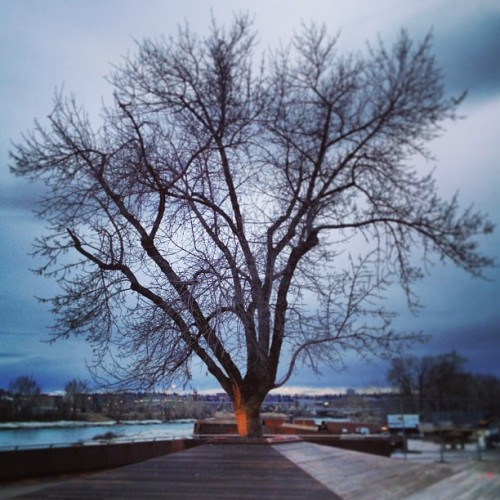 #yyc #calgary #bridge #Louise #tree (at Louise Bridge)