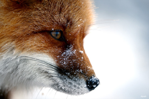 magicalnaturetour:  Beautiful Photos of Foxes by Ivan Kislov via AmO Images