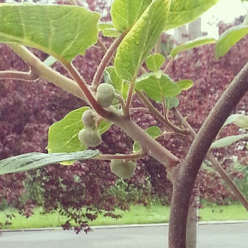 Not sure if these are flower buds or baby kiwis, but we've got lots of 'em this year.