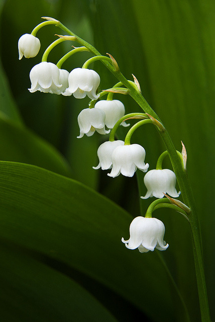 Lily of the Valley by Graham Vincent on Flickr.