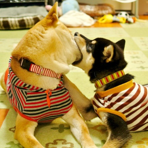 "thefluffingtonpost:  Puppies' Date Ends With Awkward Kiss Everything was going well for John and Cindy, two Shiba Inu puppies from Long Beach, CA who went on a date to the Olive Garden last Saturday. John was being witty, Cindy had hilarious work stories locked and loaded, and they both looked fantastic. Dinner was delicious, too (Cindy had the Herb Grilled Salmon and John ordered the Tour of Italy). It looked like a second date was definitely in the cards. Then came the kiss. ""I'm still not sure what happened,"" said Francine Baker, Cindy's roommate. ""She came in about 10:30, completely flustered. She didn't really want to talk about it, but from what I gather, John is just a really bad kisser."" No word yet on whether the two dogs will be able to move past the incident and see each other again. Via mugi_tsuko,"