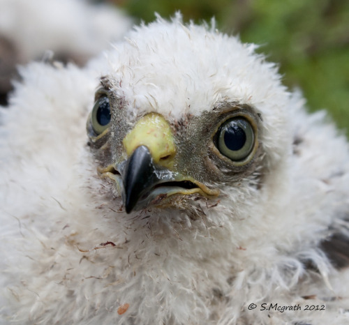 Sparrowhawk chick (by Glesgastef)