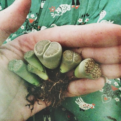 "kitsune-noir:  the lithops succulent, translated in ancient greek, literally means ""stone face"". they blend in with the rocks around them in their natural habitat to avoid being eaten. coolest little guys."