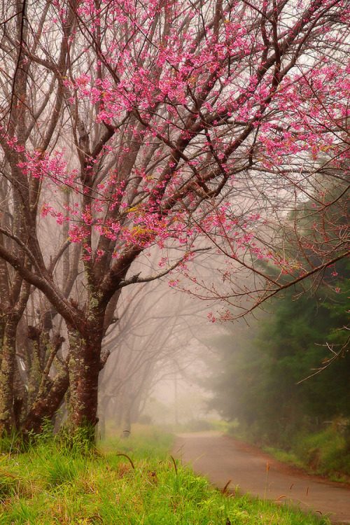 0mnis-e:  Wild Himalayan Cherry, By Thanes G.