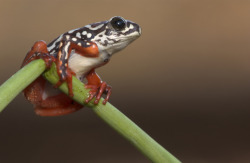 Painted reed frog (Hyperolius marmoratus) (Source)