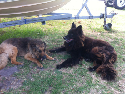 j-a-k-e-s:  My wolf and German Shepard