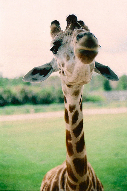 garenwhitmore:  I am a giraffe. This picture settles it.