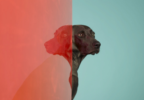 darnyill:  William Wegman