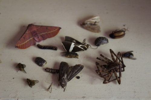 ohcrackohcrack:  my little dead bug collection, I'm very fond of it