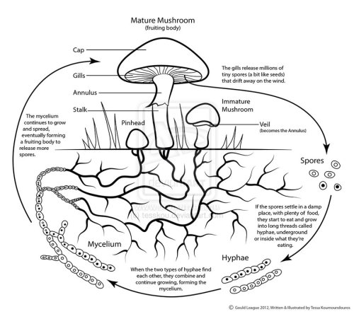 Simplified mushroom life cycle, diagrammed