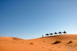 A camel caravan moving at the sand dunes of the Sahara Desert (See it at ) #morocco #desert #sahara