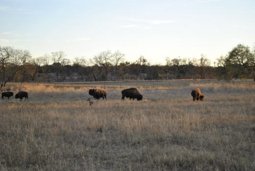 "And just to bring it all together, here are buffalo grazing on the land surrounding the LBJ Ranch near Johnson City, Texas during my visit there on December 12, 2010.  Clearly, LBJ also knew what awesome animals buffalo are (I like calling them ""buffalo"" instead of ""American bison"", so if I'm using that name incorrectly, write down your complaint and submit it through the proper channels.)"