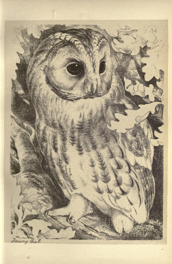 scientificillustration:  Tawny Owl by BioDivLibrary on Flickr. Birds from Moidart and elsewhere /.Edinburgh :David Douglas,1895..biodiversitylibrary.org/page/22541740
