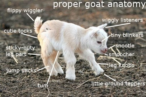 Look! a small goat! it's small, not big; The little kind!!!