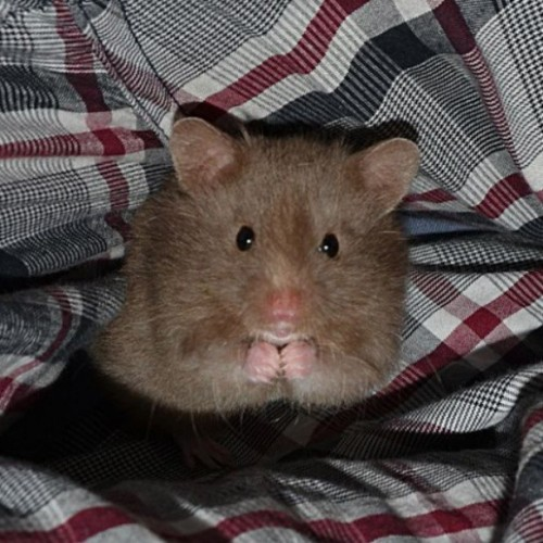 Hamster Is Plotting Something, We're Sure of It Noctus the hamster is up to no good. The Fluffington Post can report with 95% certainty that the rodent is planning something. We're not sure what it is, but just look at him. Those intense, beady little eyes, the way he's rubbing his hands together menacingly. Oh yes, he's up to something. Mark our words. Via aleqto.