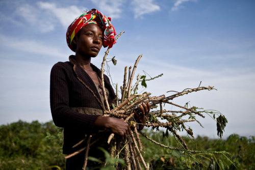 OWANDO, REPUBLIC OF CONGO - MAY 12, 2011: A local volunteer with the Congolese Red Cross prepares cassava cuttings tolerant to mosaic disease, a plant virus which limits production of the important food crop, that will be distributed to the local population. (Photo by Jonathan Torgovnik/Reportage by Getty Images for ICRC) Jonathan Torgovnik has been named a Canon Explorer.