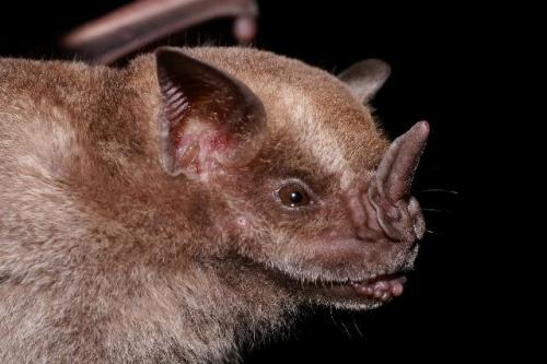 Fruit bats and bat fruits: the evolution of fruit scent in relation to the foraging behaviour of bats in the New and Old World tropics by Hodgkison et al. Frugivory among bats (Chiroptera) has evolved independently in the New and Old World tropics: within the families Phyllostomidae and Pteropodidae, respectively. Bats from both families rely primarily on olfaction for the location of fruits. However, the influence of bats on the evolution of fruit scent is almost completely unknown. Using the genus Ficus as a model, the aims of this study were to explore the chemical composition of fruit scent in relation to two contrasting seed dispersal syndromes in Panama and Malaysia and to assess the influence of fruit scent on the foraging behaviour of neo- and palaeotropical fruit-eating bats… (read the full paper)              (image: Alex Borisenko, Biodiversity Institute of Ontario)
