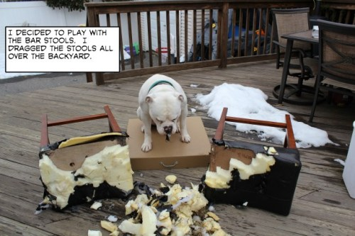 dogshaming:  Bar Mayhem Popeye took the bar stools out the shed and you can see the results.View Post