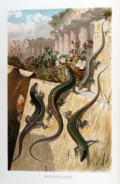 wapiti3:   Mauereidechse (Wall Lizard)-C1880 on Flickr.  Artist unknown, German school. source-Antique Print Room